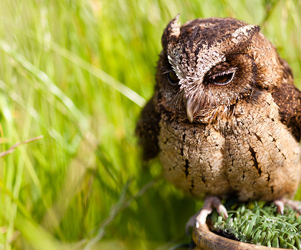 otis-sunda-scops-owl-700×500