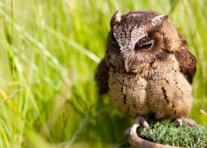 otis-sunda-scops-owl-700x500