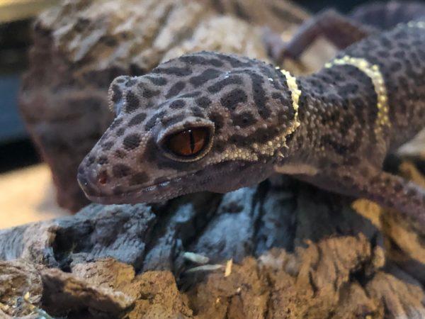 reptile handling
